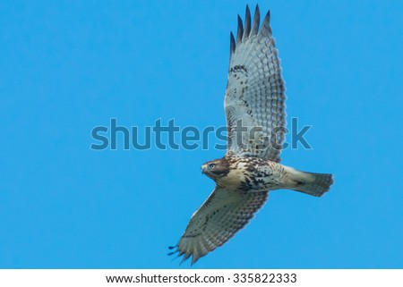Red-tailed Hawk flying through a clear blue sky. - stock photo