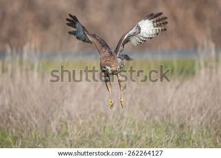 Red-tailed Hawk in Flight Pose - stock photo