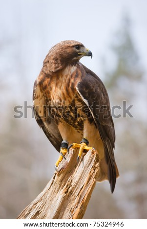red-tailed hawk on tree stump against sky - stock photo