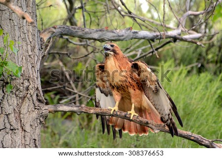 Red Tailed Hawk perched on a branch - stock photo