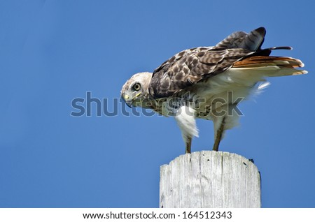 Red-Tailed Hawk Perched on a Pole - stock photo