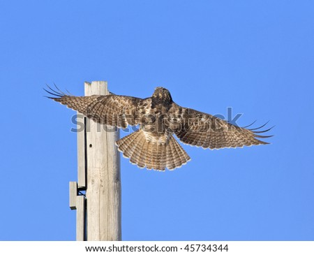 Red-tailed hawk perching on post. Buteo jamaicensis. - stock photo