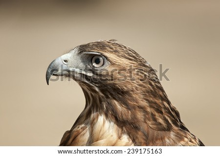 Red Tailed Hawk Portrait - stock photo