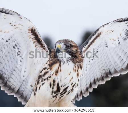 Red-Tailed Hawk Portrait Isolated - stock photo