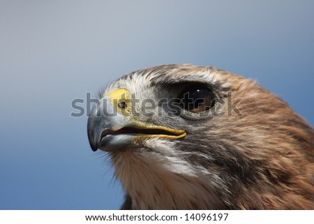 Red Tailed Hawk portrait looking to the left - stock photo