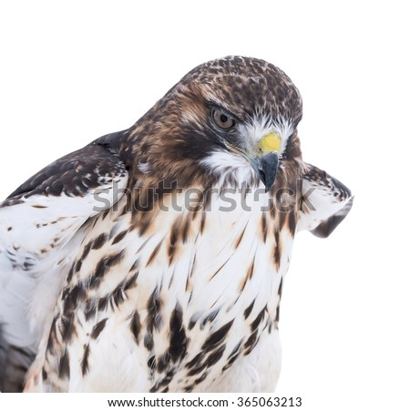 Red-Tailed Hawk Portrait on White Background, Isolated - stock photo