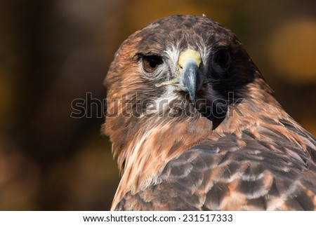 Red Tailed Hawk Portrait/Red Tailed Hawk looking over left shoulder/Red Tailed Hawk Stare  - stock photo