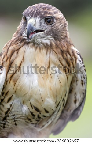 Red-tailed Hawk portrait. The most common hawk in North America. You will  most likely see Red-tailed Hawks soaring in wide circles high over a field.  - stock photo