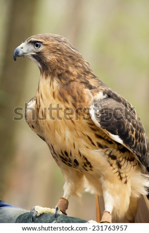 Red Tailed Hawk sits proudly at attention.  - stock photo
