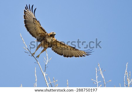 Red-Tailed Hawk Taking Off From The Tree Tops With Outstretched Wings - stock photo