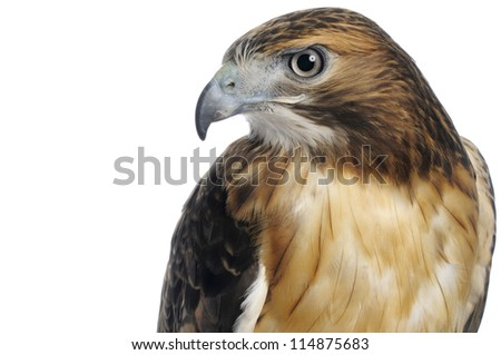 Red-tailed hawk upper body and head shot isolated on a white background. - stock photo