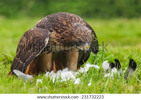Red-tailed hawk with pigeon. A magnificent red-tailed hawk mantles its pigeon prey as it prepares for lunch - stock photo