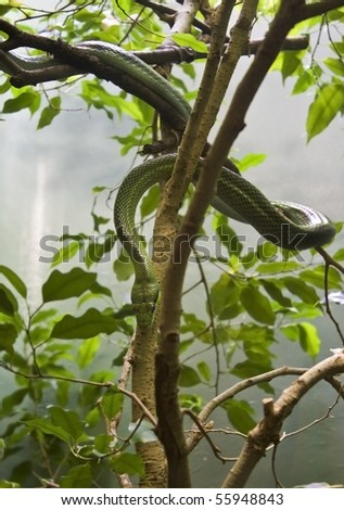 red tailed rat snake on a tree - stock photo