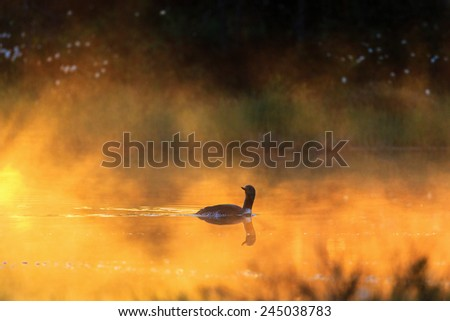 Red throated loon in a misty morning light in a forest lake - stock photo