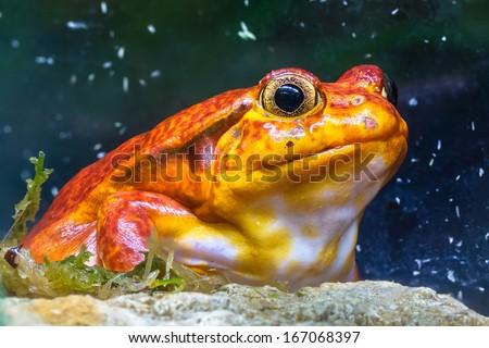 Red tomato frog (sambava tomato frog) sitting on a rock in the vegetation - stock photo