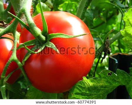 Red Tomato Growing on the Vine - stock photo