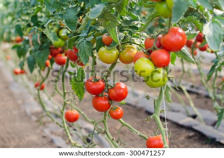 Red tomatoes in a greenhouse - stock photo