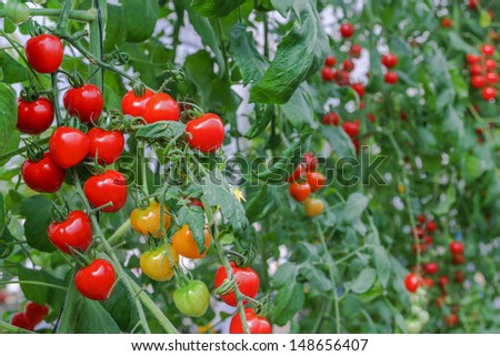 red tomatoes on the bushes - stock photo