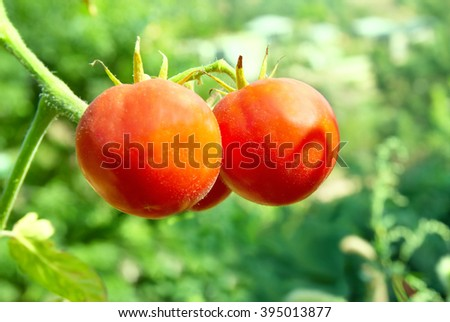 Red tomatoes with green leaves on the vine - stock photo