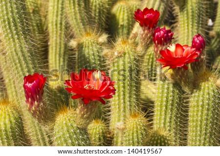 Red Torch Cactus close up; Botanical Garden, Phoenix, AZ - stock photo