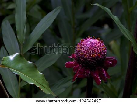 Red Torch Ginger flower: Etlingera elatior, - stock photo