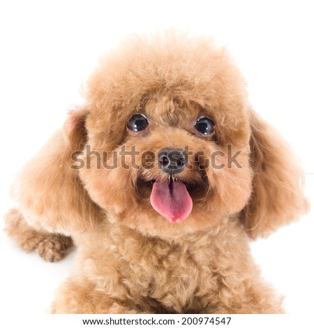 Red Toy Poodle puppy - stock photo