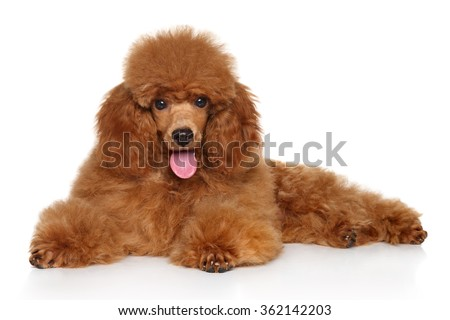 Red Toy Poodle puppy lying down on white floor - stock photo