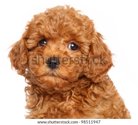 Red Toy Poodle puppy over white background. Close-up portrait - stock photo