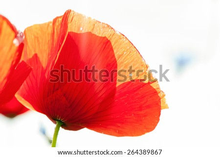 Red transparent poppy flower petals in sunbeam. Summertime outdoors closeup. - stock photo