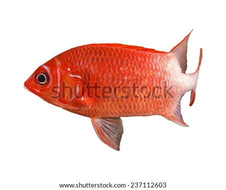 Red tropical fish isolated on white background (Squirrelfish) - stock photo