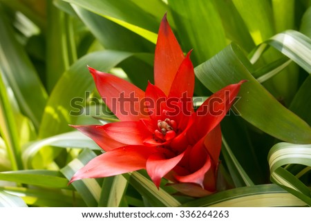 Red Tufted airplant blooming (Guzmania sp) - stock photo