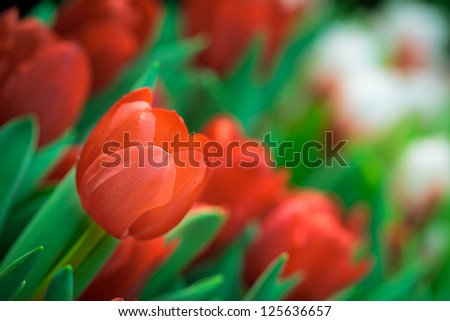 Red Tulip Background - stock photo