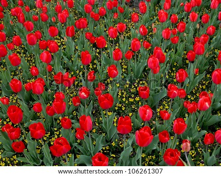 Red Tulip Flowers - stock photo