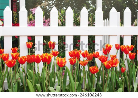red tulip flowers in front of the white fences - stock photo