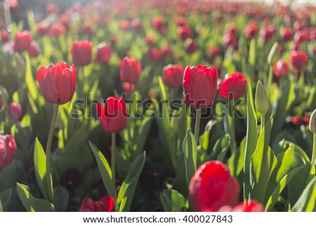 Red tulip garden - stock photo