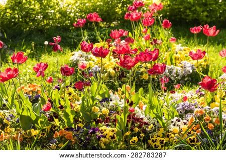 Red Tulip Garden In Spring - stock photo