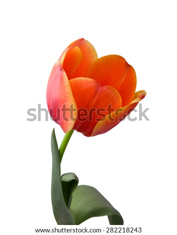 Red tulip isolated on white background - stock photo