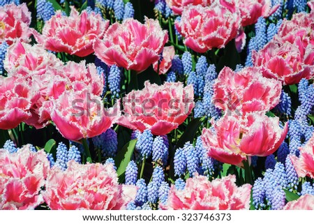 Red Tulips among of Flowers of Muscari - stock photo