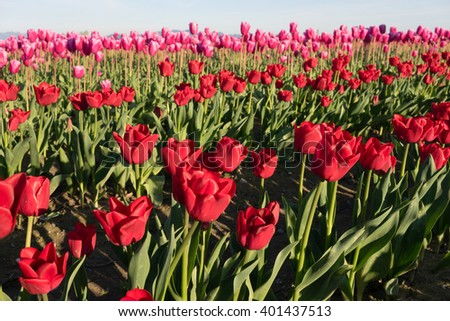 Red Tulips Bend Towards Sunlight Floral Agriculture Flowers - stock photo