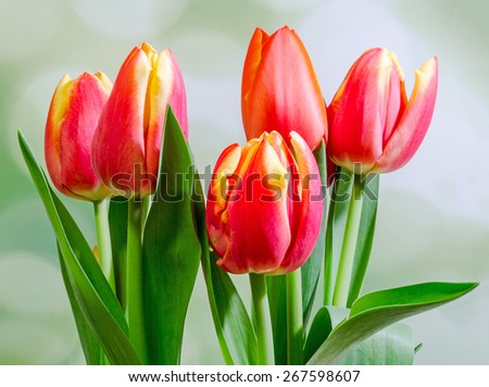 Red tulips flowers, bouquet, floral arrangement, close up, green bokeh background. - stock photo