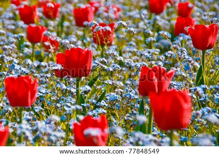 Red Tulips in a blue Forget-me-not field - stock photo