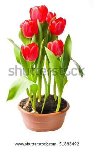 red tulips in brown pot isolated on white background - stock photo