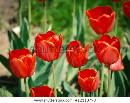 Red tulips in the garden - stock photo