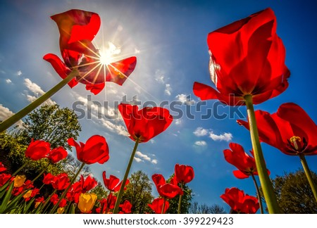 Red tulips in the garden in spring - stock photo