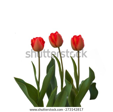Red tulips on a white background isolated - stock photo