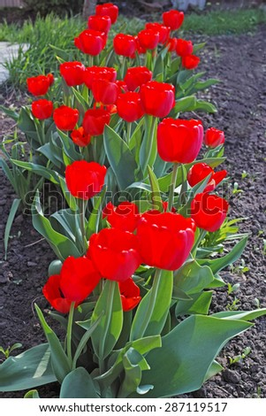 Red tulips on flowerbed on a sunny day. The quality of medium format - stock photo