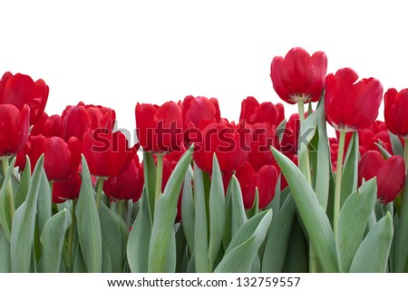 Red Tulips On White Background - stock photo