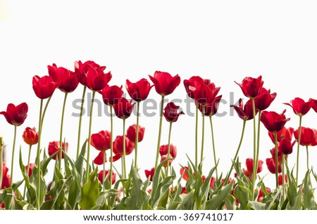 Red tulips stems leaves growing outside with sunlight. isolated white background - stock photo