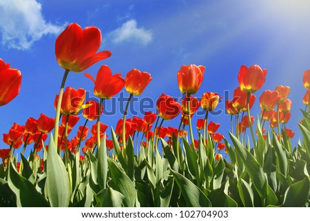 Red Tulips under a blue sunny sky - stock photo