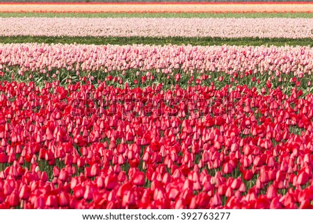 Red tulips with a blue sky in a flowerbed during Spring season in the Netherlands - stock photo